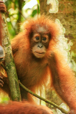 Young Sumatran orangutan (Pongo abelii) sitting in a tree in Gunung Leuser National Park, Sumatra, Indonesia. Sumatran orangutan is endemic to the north of Sumatra and is critically endangered.