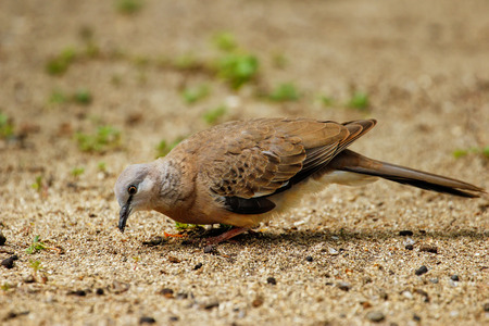 Spotted dove (Spilopelia chinensis) sitting on the ground in Fiji Stock Photo