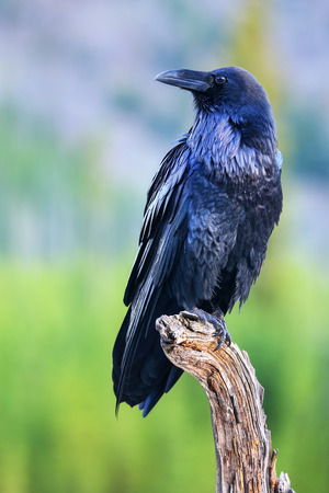 Common raven (Corvus corax) sitting on a dead tree in Yellowstone National Park, Wyoming