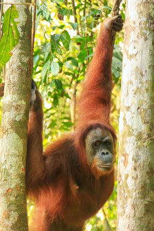 Female Sumatran orangutan (Pongo abelii) sitting in the trees, Gunung Leuser National Park, Sumatra, Indonesia. Sumatran orangutan is endemic to the north of Sumatra and is critically endangered.