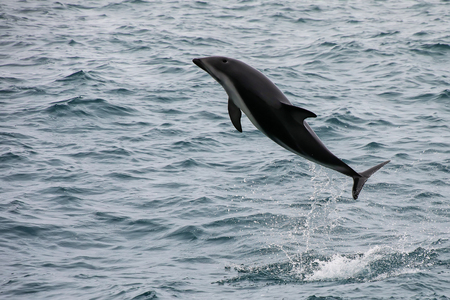 Dusky dolphin leaing out of the water near Kaikoura, New Zealand. Kaikoura is a popular tourist destination for watching and swimming with dolphins.