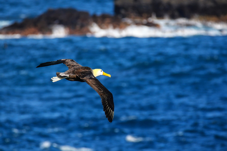 Waved albatross (Phoebastria irrorata) in flight on Espanola Island, Galapagos National park, Ecuador. The waved albatross breeds primarily on Espanola Island.