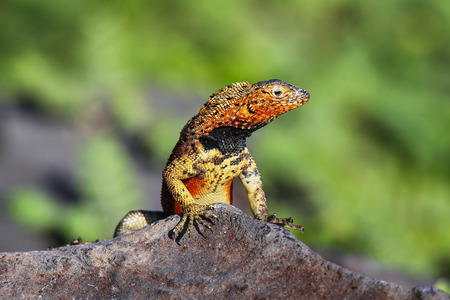 Male Hood lava lizard (Microlophus delanonis) on Espanola Island, Galapagos National park, Ecuador. It is found only on Espanola Island.