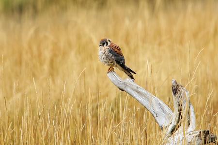 American kestrel (Falco sparverius) sitting on a tree stump 写真素材