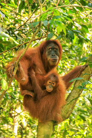 Female Sumatran orangutan with a baby sitting on a tree in Gunung Leuser National Park, Sumatra, Indonesia. Sumatran orangutan is endemic to the north of Sumatra and is critically endangered. 版權商用圖片