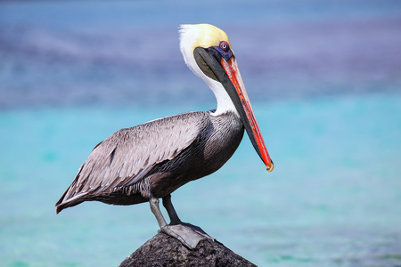 Brown pelican (Pelecanus occidentalis) sitting on a rock at Suarez point, Espanola Island, Galapagos National park, Ecuador.