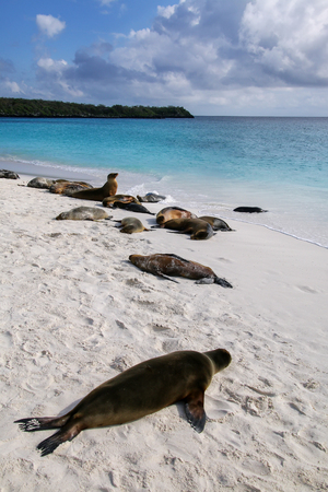 Group of Galapagos sea lions resting on sandy beach in Gardner Bay, Espanola Island, Galapagos National park, Ecuador. These sea lions exclusively breed in the Galapagos.
