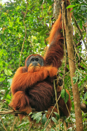 Male Sumatran orangutan (Pongo abelii) sitting in a tree in Gunung Leuser National Park, Sumatra, Indonesia. Sumatran orangutan is endemic to the north of Sumatra and is critically endangered. Standard-Bild