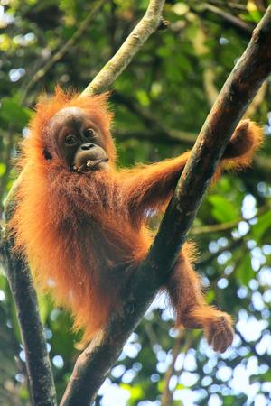 Young Sumatran orangutan (Pongo abelii) sitting in a tree in Gunung Leuser National Park, Sumatra, Indonesia. Sumatran orangutan is endemic to the north of Sumatra and is critically endangered.
