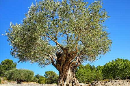Alter großer Olivenbaum wächst in der Nähe von Pont du Gard, Südfrankreich.