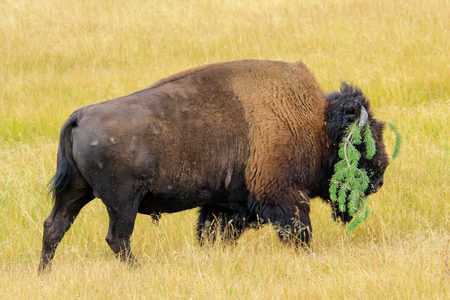Male bison walking with a tree branch on its horn, Yellowstone National Park, Wyoming, USA 版權商用圖片