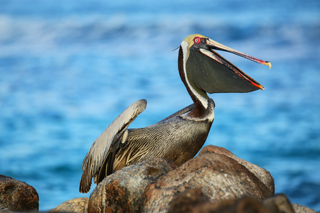 Brown pelican (Pelecanus occidentalis) on Espanola Island, Galapagos National park, Ecuador.