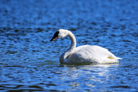 Trumpeter swan (Cygnus buccinator) in Yellowstone National Park, Wyoming, USA