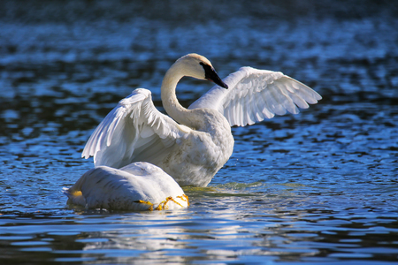 Trumpeter swan spreading wings, Yellowstone National Park, Wyoming, USA 版權商用圖片