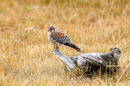 American kestrel (Falco sparverius) sitting on a tree stump 版權商用圖片