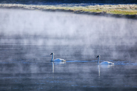 Trumpeter swans swimming in the river on a foggy morning, Yellowstone National Park, Wyoming, USA 版權商用圖片