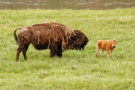 Female bison with a calf standing in a green field, Yellowstone National Park, Wyoming, USA 版權商用圖片