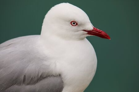 Portrait of Red-billed gull at Taiaroa Head, Otago Peninsula, New Zealand. It is endemic to New Zealand. Banque d'images