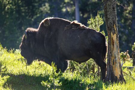 Male bison standing next to a rubbed tree in Yellowstone National Park, Wyoming, USA