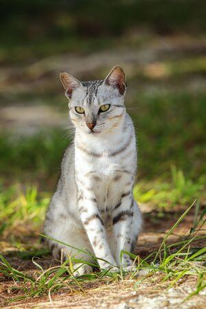 Egyptian Mau cat sitting on the ground, Ouvea Island, New Caledonia.