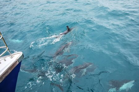 Dusky dolphins swimming near the boat off the coast of Kaikoura, New Zealand. Kaikoura is a popular tourist destination for watching and swimming with dolphins. 版權商用圖片