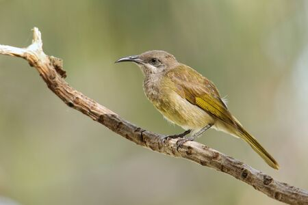 Grey-eared honeyeater (Lichmera incana) sitting on a tree branch, Ouvea island, New Caledonia. It is only found in Vanuatu and New Caledonia.