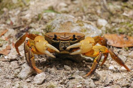Ghost crab sitting on the ground, Ouvea Island, New Caledonia.