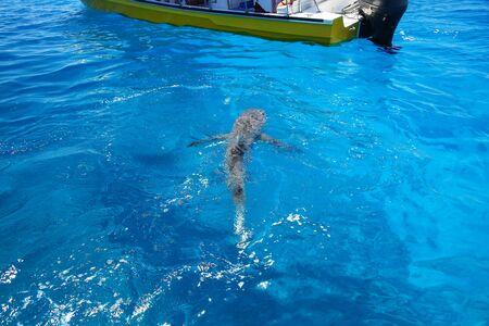Grey shark swimming near the boat at Gece Island, Ouvea lagoon, Loyalty Islands, New Caledonia.