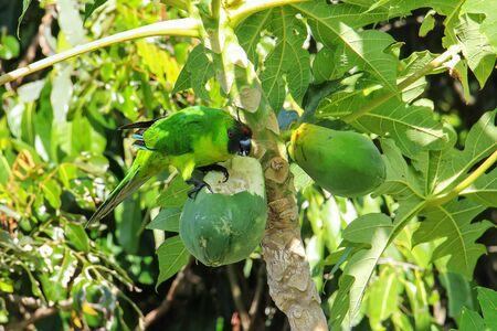 Ouvea parakeet (Eunymphicus uvaeensis) eating papaya on Ouvea Island, Loyalty Islands, New Caledonia. It is endemic to the island of Ouvea.
