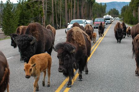 Herd of bison blocking  road in Yellowstone National Park, Wyoming, USA