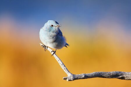 Male mountain bluebird (Sialia currucoides) sitting on a stick 스톡 콘텐츠