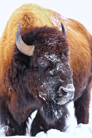 Portrait of a male bison with snow on its head during winter, Yellowstone National Park, Wyoming, USA