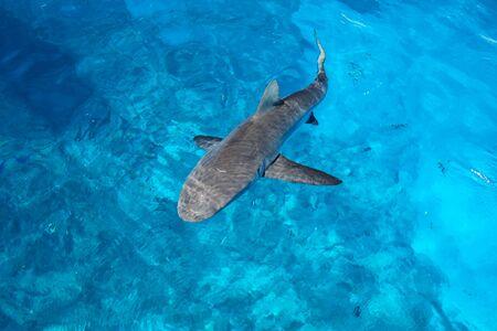 Grey shark swimming in clear water near Gece Island, Ouvea lagoon, Loyalty Islands, New Caledonia.