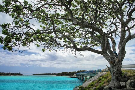 Big tree by Mouli Bridge between Ouvea and Mouli islands, Loyalty Islands archipelago, New Caledonia.