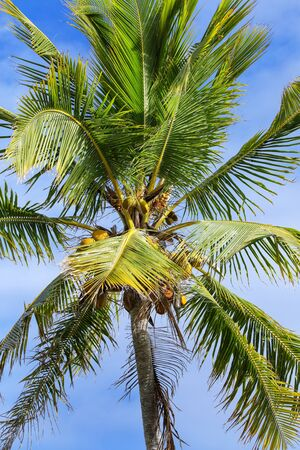 Close view of the palm tree top with coconuts