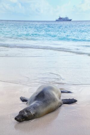 Galapagos sea lion lying on the beach at Gardner Bay, Espanola Island, Galapagos National park, Ecuador. These sea lions exclusively breed in the Galapagos. Stock fotó