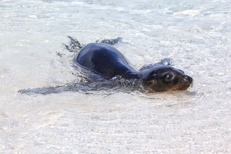 Galapagos sea lion playing in water on Espanola Island, Galapagos National park, Ecuador. These sea lions exclusively breed in the Galapagos. Stock fotó