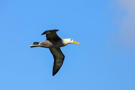 Waved albatross (Phoebastria irrorata) in flight on Espanola Island, Galapagos National park, Ecuador. The waved albatross breeds primarily on Espanola Island.