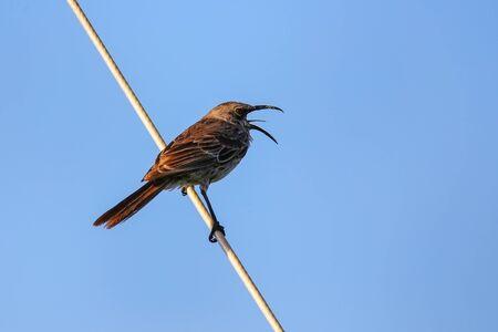 Hood mockingbird (Mimus macdonaldi) on Espanola Island, Galapagos National park, Ecuador. It is endemic to Espanola Island. Stock Photo