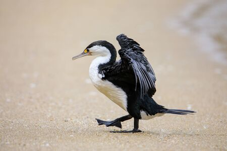 Little pied cormorant (Microcarbo melanoleucos) spreading wings on the beach, Abel Tasman National Park, South Island, New Zealand