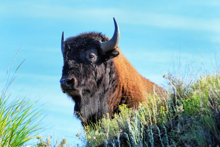 Portrait of a male bison, Yellowstone National Park, Wyoming, USA