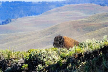 Male bison lying in Yellowstone National Park, Wyoming, USA