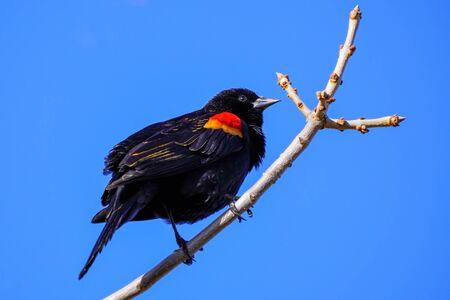 Red-winged blackbird (Agelaius phoeniceus) sitting in a tree, Colorado