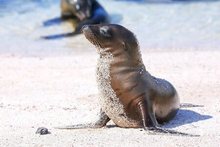 Young Galapagos sea lion at the beach on Espanola Island, Galapagos National park, Ecuador. These sea lions exclusively breed in the Galapagos.