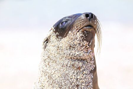 Portrait of Galapagos sea lion on  Espanola Island, Galapagos National park, Ecuador. These sea lions exclusively breed in the Galapagos.
