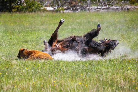 Female bison taking a dust bath with a calf nearby, Yellowstone National Park, Wyoming, USA
