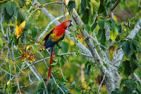 Scarlet macaw (Ara macao) eating fruit in a tree, Costa Rica