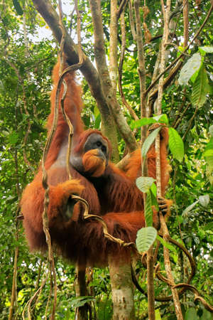 Male Sumatran orangutan (Pongo abelii) hanging in trees in Gunung Leuser National Park, Sumatra, Indonesia. Sumatran orangutan is endemic to the north of Sumatra and is critically endangered.