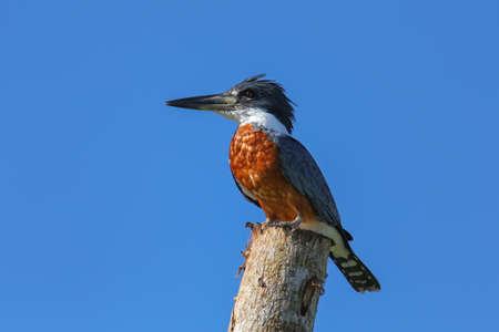Ringed kingfisher (Megaceryle torquata) sitting on a wooden pole, Costa Rica Stock Photo