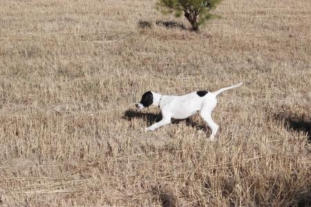 Hunting Dog photo